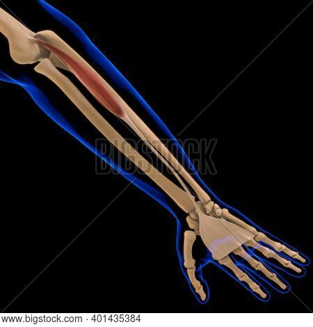 Palmaris Longus Muscle Anatomy For Medical Concept 3D Illustration