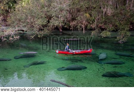 Deland, Florida - December 17, 2020:  A Researcher Observes And Counts Manatees At Blue Springs Stat