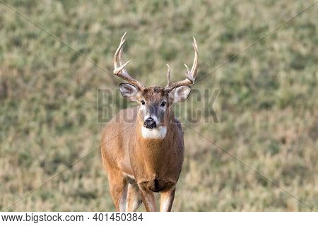 Trophy White-tailed Buck (odocoileus Virginianus) With A Missing Brow Tine Standing And Looking Aler