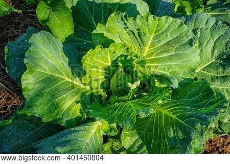 Close Up Of The Head Of A Napa Cabbage, Chinese Cabbage Is Grown In A Fully Grown Vegetable Plot, Ca