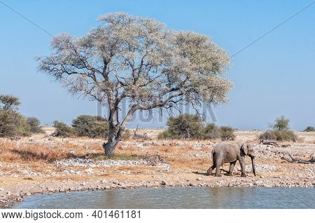 An Elephant Walking, A Tree And A Waterhole