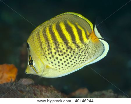 Reef fish spotband butterflyfish