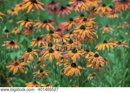 Vintage Blossoming Rudbeckia Hirta (black-eyed Susan) Flowers In The Garden In Summer. Nature Backgr