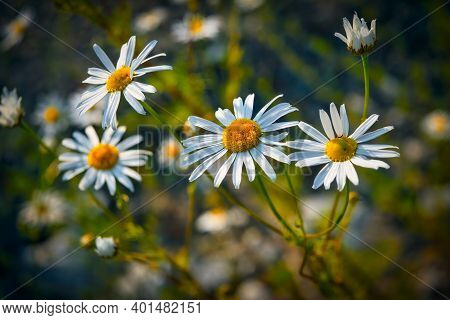 Flowering. Chamomile. Blooming Chamomile Field, Chamomile Flowers On A Meadow In Summer.