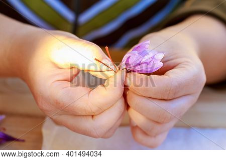 Process Of Separating The Saffron Strands From The Rest Of The Flower. Preparing Saffron Threads For