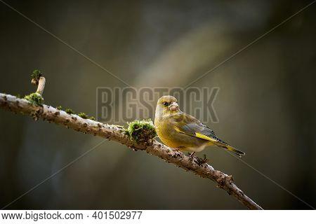 Song Bird European Greenfinch, Bird In Its Natural Habitat, Scene From Nature, Europe, Czech Republi