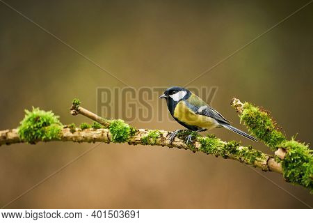 Great Tit, Parus Major, Black And Yellow Songbird Sitting On The Nice Lichen Tree Branch