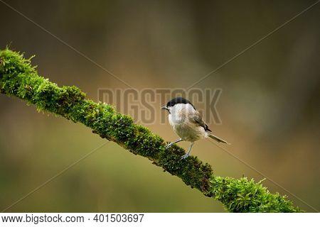 Marsh Tit (poecile Palustris), Black And White Songbird