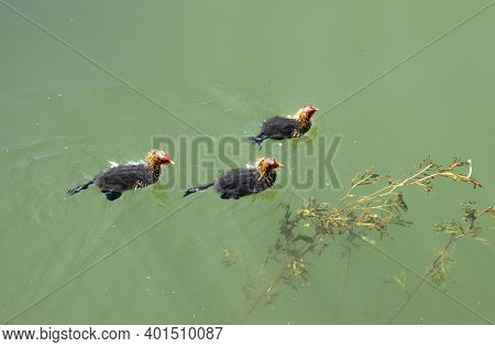 Chicks Of The Coot Waterfowl Swim One After Another On The Surface Of The Reservoir.