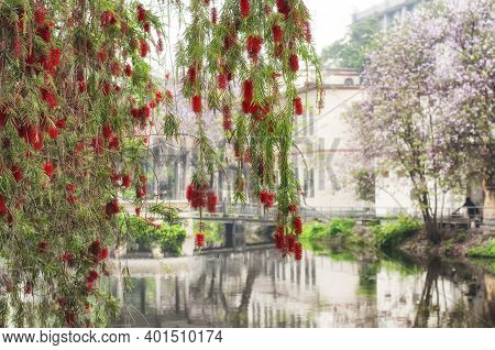 The Red Flowers From A Weeping Bottle Brush Tree, Calistemon Viminalis, Blooming In Guangzhou China.