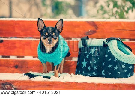 Portrait Of A Tiny Chihuahua Dog With A Blue Sweater. Chihuahua Dog Walking On The Snow