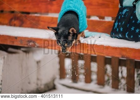 Portrait Of A Tiny Chihuahua Dog With A Blue Sweater. Chihuahua Dog Walking On The Snow. Chihuahua.