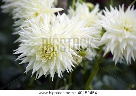White spiky petal image photo free trial bigstock white spiky petal flowers mightylinksfo