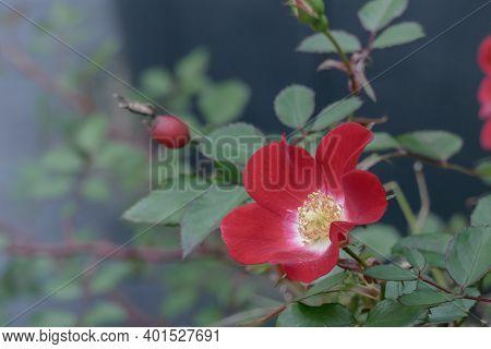 Flower Rosehip Rosa Eglanteria Closeup View Outdoors With Daylight