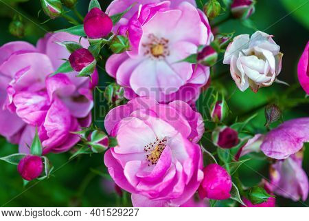 Pink-white Rose Flowers And Buds In Rosary, Closeup Shot (rosa Angela By Kordes)