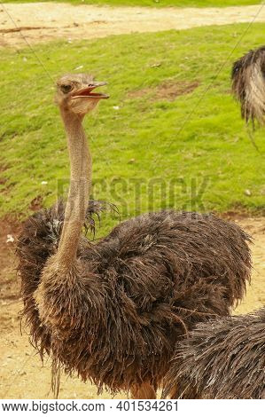 A Portrait Of An Ostrich, Struthio Camelus Common Ostrich Struthio Camelus, Or Simply Ostrich, Is A