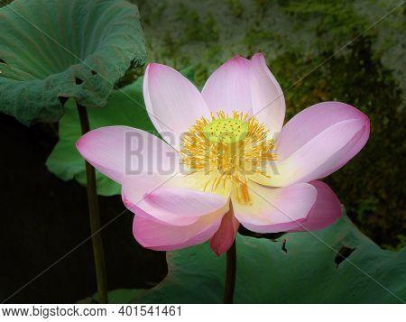 Beautiful Pink Lotus Flower And Lotus Flower Plants, Pure Pink Lotus Flower, Symbol Of Vietnam.