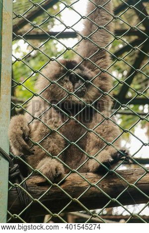 Image Of Silvery Gibbon In The Cage. Lonly Gibbon Behind The Cage In The Park, Bali, Indonesia. Hylo