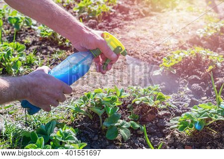 Gardener Holds Bottle With Blue Liquid Of Bordeaux Mixture (also Called Bordo Mix) And Spraying Youn