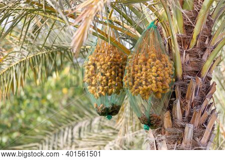 Delicious Unripe Date Bunch On A Palm Tree