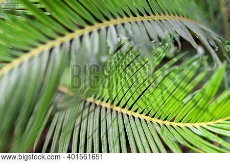 Closeup Of The Palm Tree, Natural Background