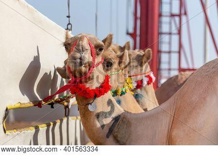 Camels Getting Ready For A Race At Al Wathba In Abu Dhabi, Uae