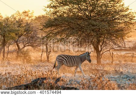 Burchells Zebra, Equus Quagga Burchellii, Walking At Sunset In Northern Namibia