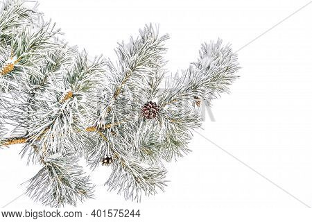 Pine Tree Branch With Cones And Hoarfrust Or Rime And Snow On Green Needles, Isolated On White Backg