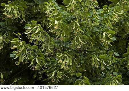 Yellow Bloom And Green Leaves Of Tilia, Linden Or Linden In Summer, Sofia, Bulgaria