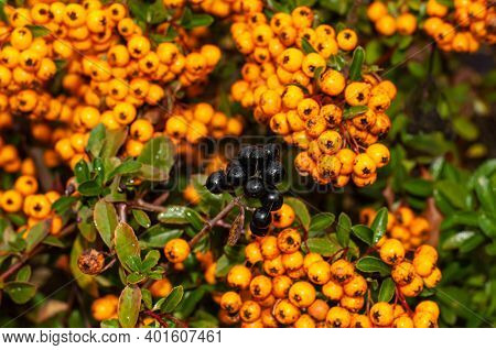 Close-up Of A Twig With Black Privet Berries In A Hedge In Autumn In Front Of Orange Berries Of A Fi