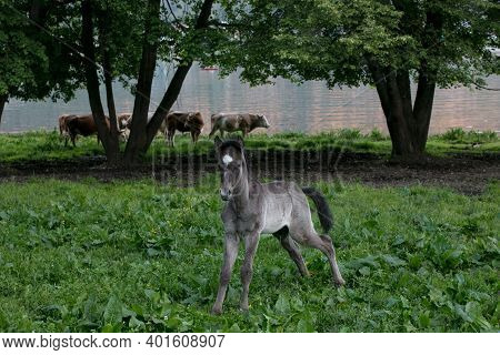 Portrait Of A Cute Foal Wet After Rain. He Is Standing In The Meadow, Looking At The Camera And Piss
