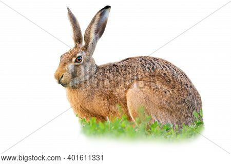 Brown Hare Sitting In Clover Isolated On White Background