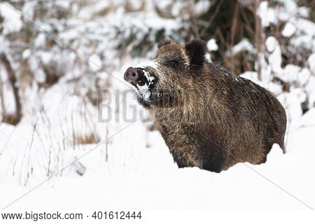 Wild Boar Sniffing On Snow In Winter Nature