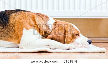 The Dog  Near To A Warm Radiator