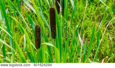 Closeup Of The Flowers Of A Common Bulrush, Wild Cattail Plant Specie From Eurasia