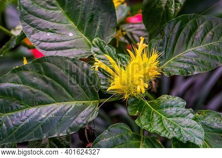 Beautiful Closeup Of A Golden Plume Flower, Popular Exotic Ornamental Plant Specie From Brazil