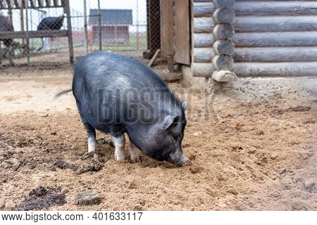 Vietnamese Pig With Black Bristles At The Zoo