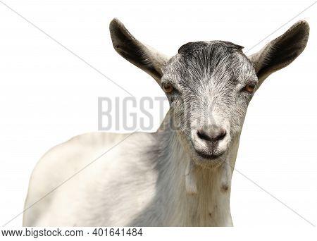Cute Goatling On White Background. Animal Husbandry