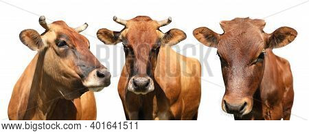 Set With Cute Cows On White Background, Banner Design. Animal Husbandry