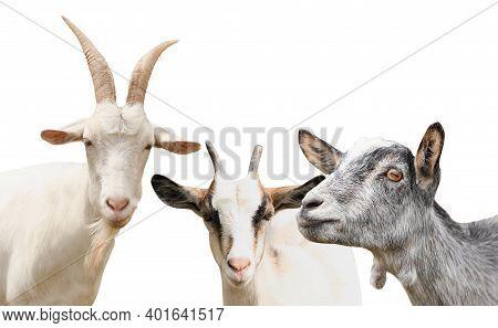 Set With Cute Goats On White Background. Animal Husbandry