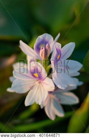 Eichhornia Crassipes Or White Musk Flowers Or Pontederiaceae In Water Hyacinth