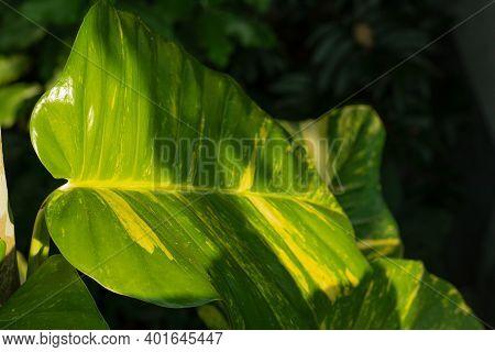 Variegated-philodendron Leaf Decoration Or Epipremnum Pinnatum Plants