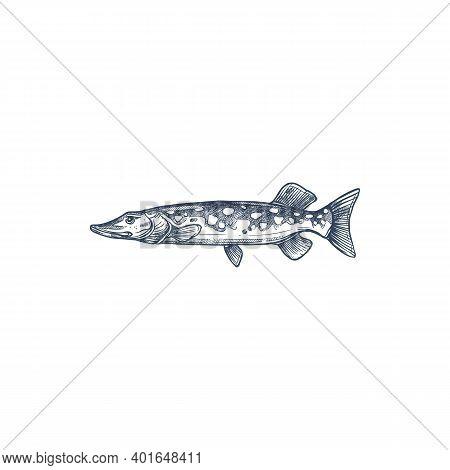 Pike Freshwater Fish Isolated Monochrome Sketch. Vector Blue Walleye, Sander Vitreus. Esox Or Picker