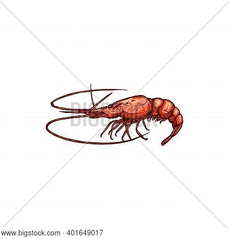 Shrimp Shellfish Crustaceans Isolated Prawn Sketch. Vector Underwater Animal, Monochrome Raw Or Cook