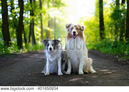 Beautiful Red Merle Australian Shepherd Dog And Blue Merle Border Collie With Blue Eyes Sitting On T
