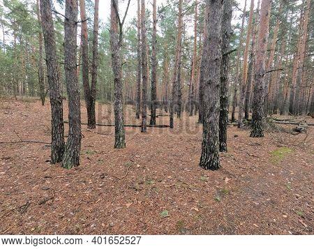 Forest near Kiev at winter