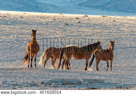 Wild Horses Of The Namib Walking At Sunrise. Photo Taken At Garub