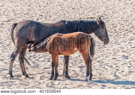 A Wild Horse Of The Namib Foal Suckling. Photo Taken At Garub