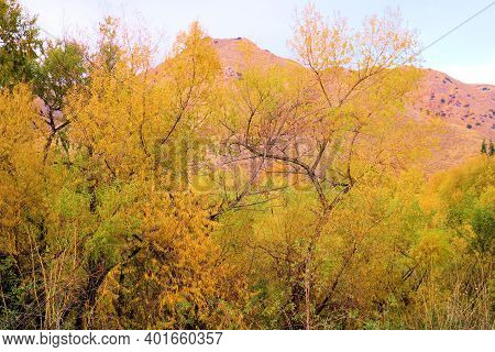 Willow Trees Changing Colors During Autumn At A Riparian Woodland Surrounded By Rural Badlands Taken