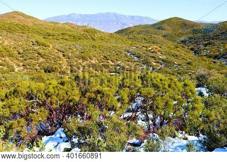 Lush Chaparral Shrubs Surrounded By Snow On The High Desert Plateau Taken At A Rural Field Taken In